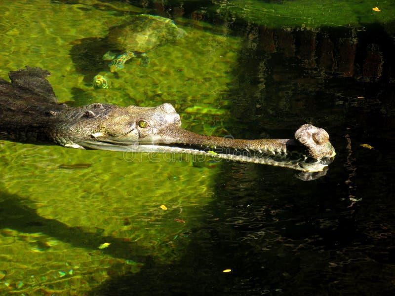 Indische gharial krokodil die in het water sluimeren royalty-vrije stock afbeelding