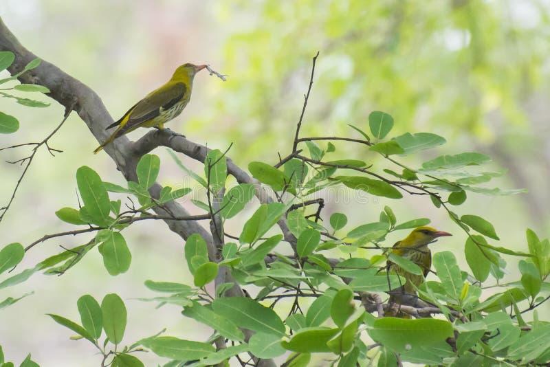 Indische Gouden Oriole Nesting royalty-vrije stock fotografie