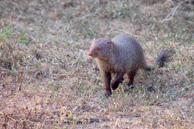 Indische Grijze mongoes royalty-vrije stock foto's
