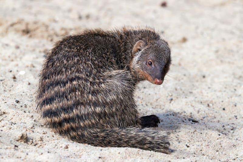 Indische grijze mongoes op zand stock afbeeldingen