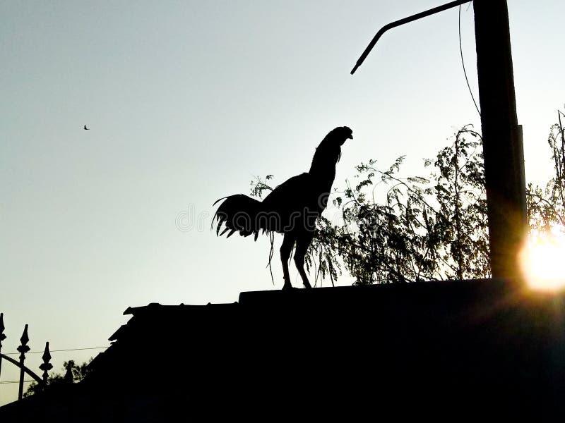 Indische haan die in de ochtendzonsopgang kraaien stock afbeelding
