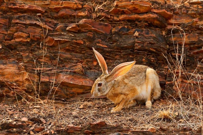 Indische hazen, Lepus-nigricollis die, het nationale park van Ranthambore, Rajasthan, India, Azië weiden Dier met grote lange ore royalty-vrije stock afbeeldingen