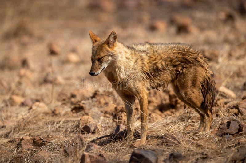 Indische Jakhals of goudhoudende indicus die van Canis agressief en de gedrags mogelijke prooi lopen waarnemen bij ranthambore stock afbeeldingen