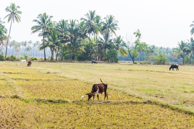 Indische Kühe auf Weiden und Reisplantagen in Nord-Goa stockfotografie