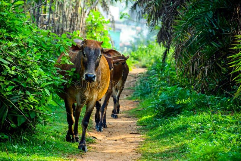 Indische Kühe Browns kamen frome Dschungelweise lizenzfreies stockbild