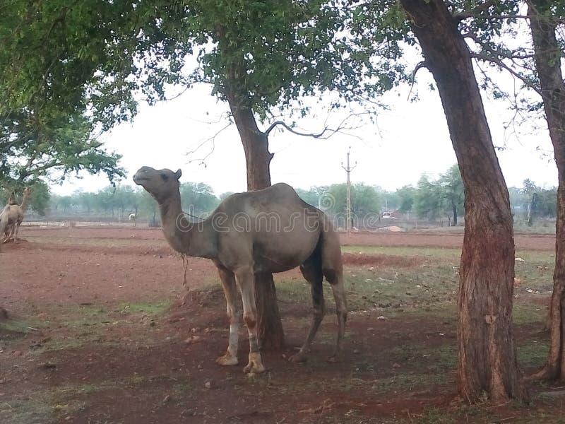 Indische kameel onder de boom royalty-vrije stock fotografie