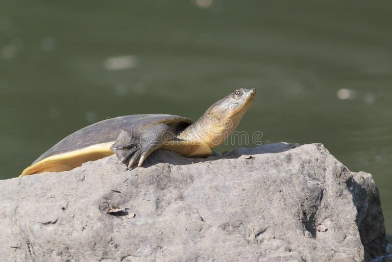 Indische Klappe schälte Schildkröte auf Felsen stockfotos
