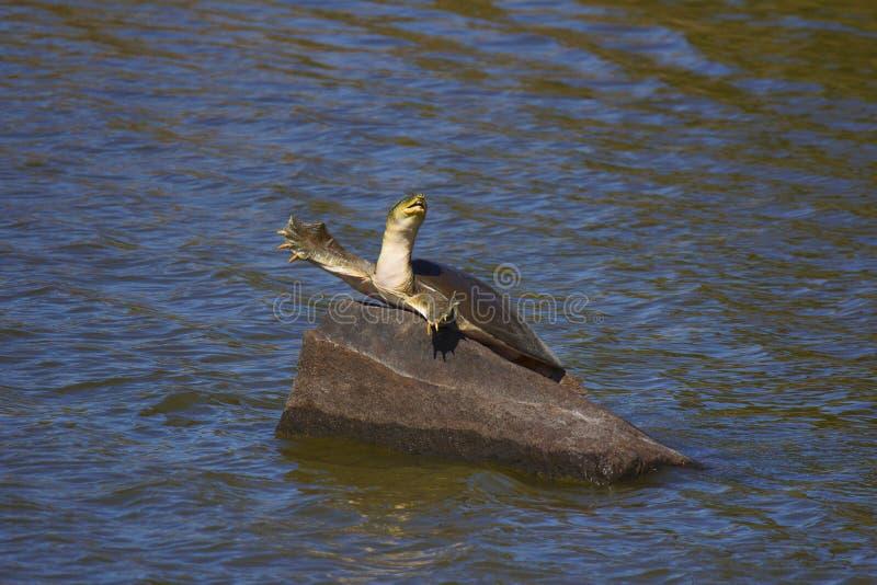 Indische Klappe schälte Schildkröte, Lissemys-punctata, Ranthambhore-Tiger, Reserve Rajasthan stockfotografie