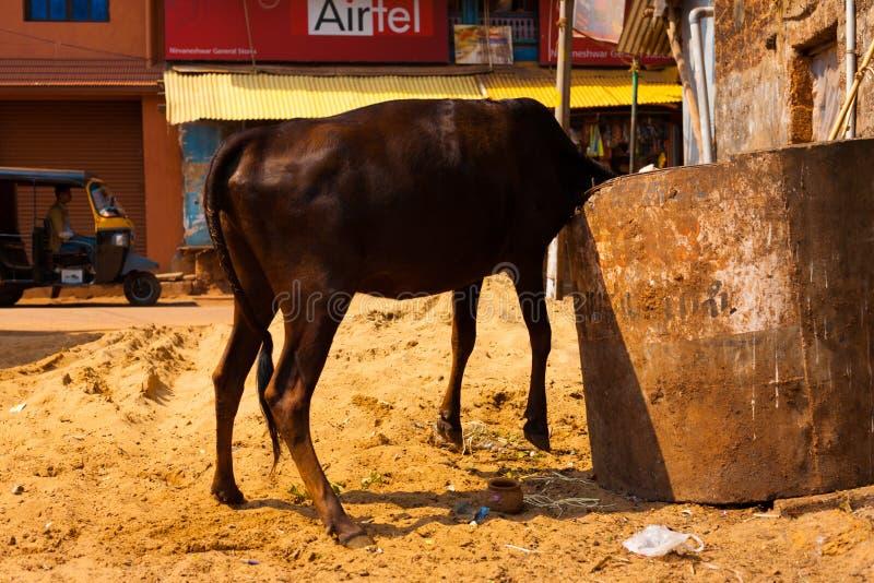 Indische Koe die Opgeheven het Lichaam eet van Dumpster van het Afval stock fotografie
