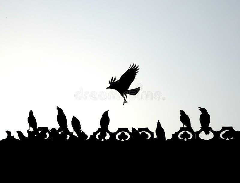 Indische kraaien die, spelen, die genietend van silhouet vechten vliegen stock afbeelding