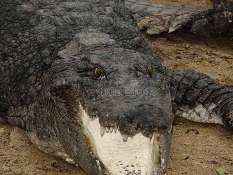 Indische krokodil stock afbeelding