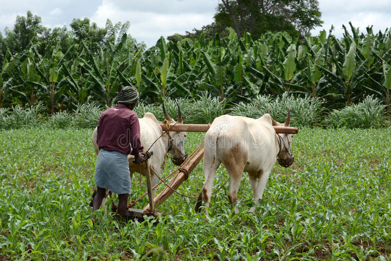 Indische Landbouwer Ploughing stock fotografie