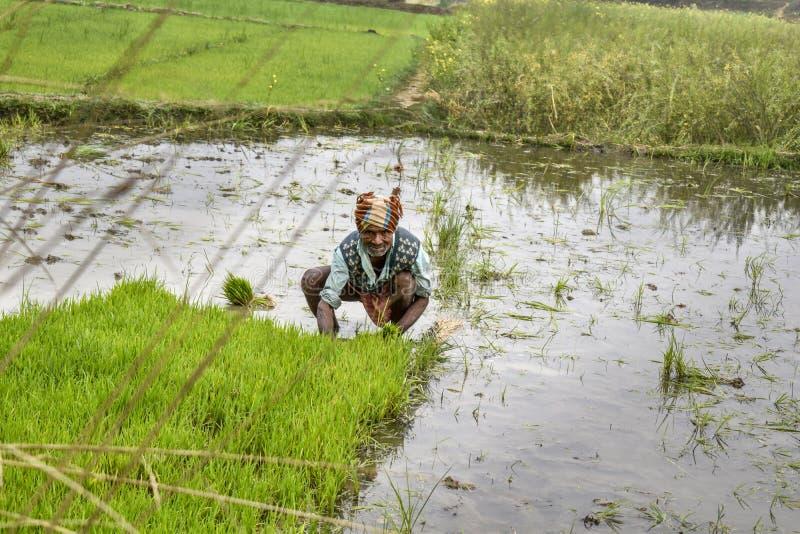 Indische Landwirtarbeiten auf Westbengalen-Reisfeld, Reispflanze auf dem Gebiet wieder einsetzend lizenzfreie stockbilder