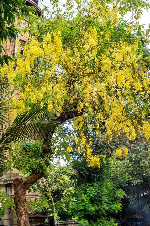 Indische leburnumboom van de kassieboomfistel knon als Gouden maharashtra van het Fortmumbai van de doucheboom royalty-vrije stock afbeelding