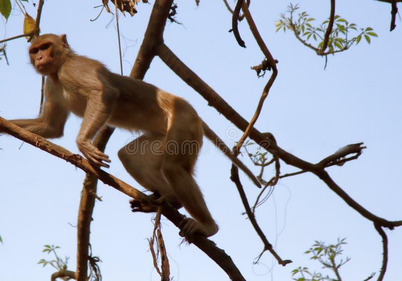Indische macaques stock foto