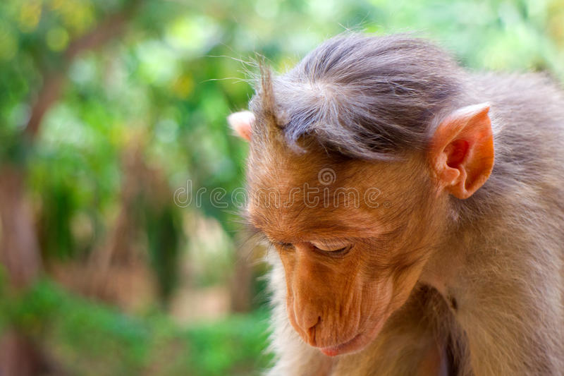 Indische macaques, bonnet macaques, of lat Macacaradiata stock fotografie