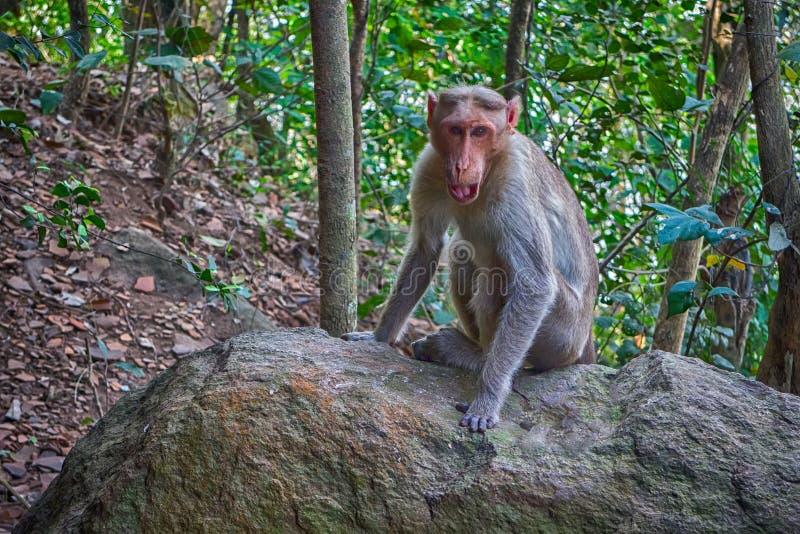 Indische macaques in droog seizoen royalty-vrije stock afbeeldingen