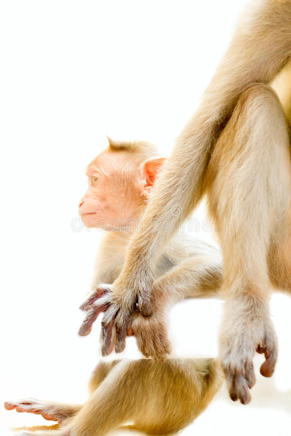 Indische macaques Ouderlijke zorg de aap houdt haar baby` s hand royalty-vrije stock afbeelding