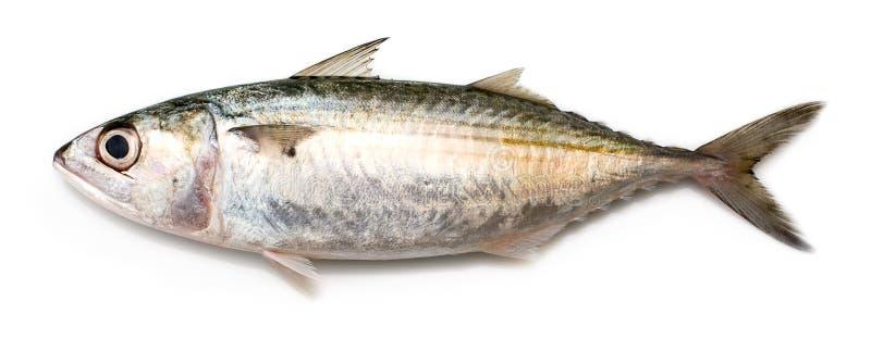 Indische Makreel stock foto's
