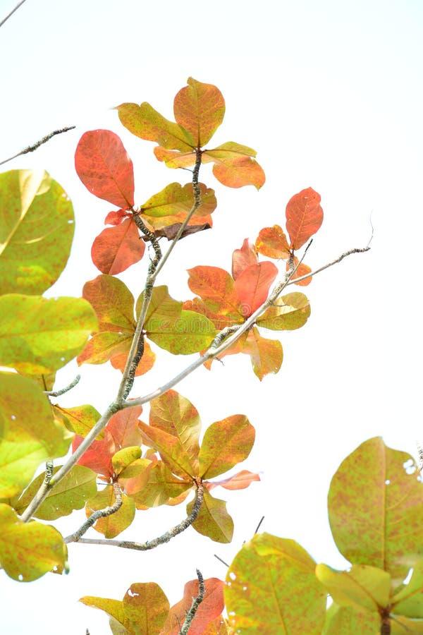 Indische Mandel im Herbst stockfotos