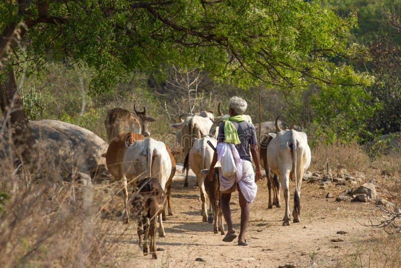 Indische mens het hoeden koeien, heilige dieren in India Weinig Andaman-eilanden royalty-vrije stock foto's