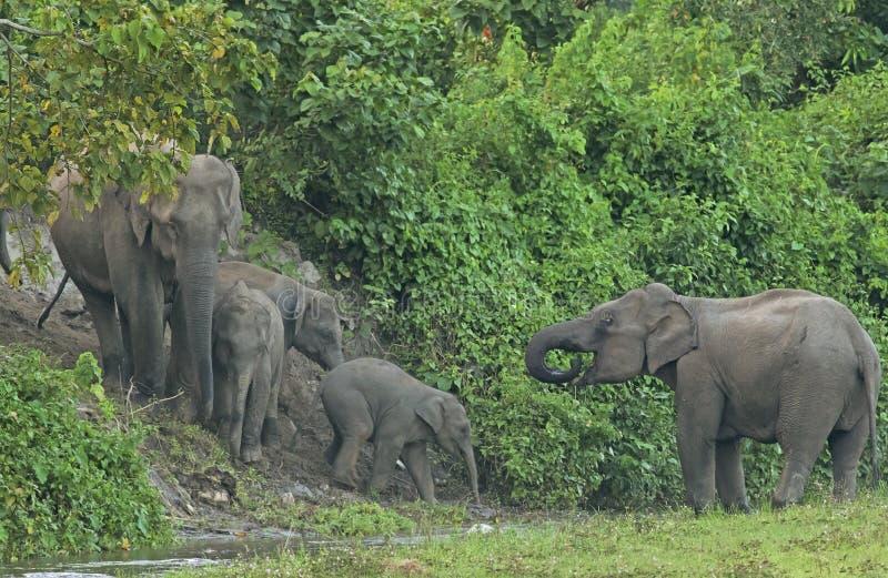 Indische olifant bij bosstroom, West-Bengalen, India royalty-vrije stock afbeeldingen