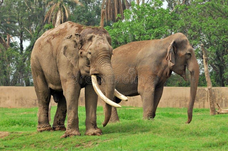 Indische olifanten royalty-vrije stock fotografie