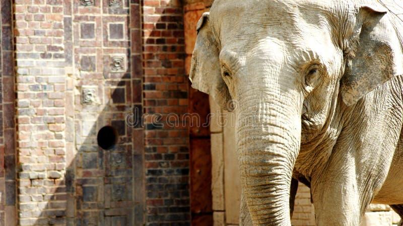 Indische Olifanten royalty-vrije stock foto