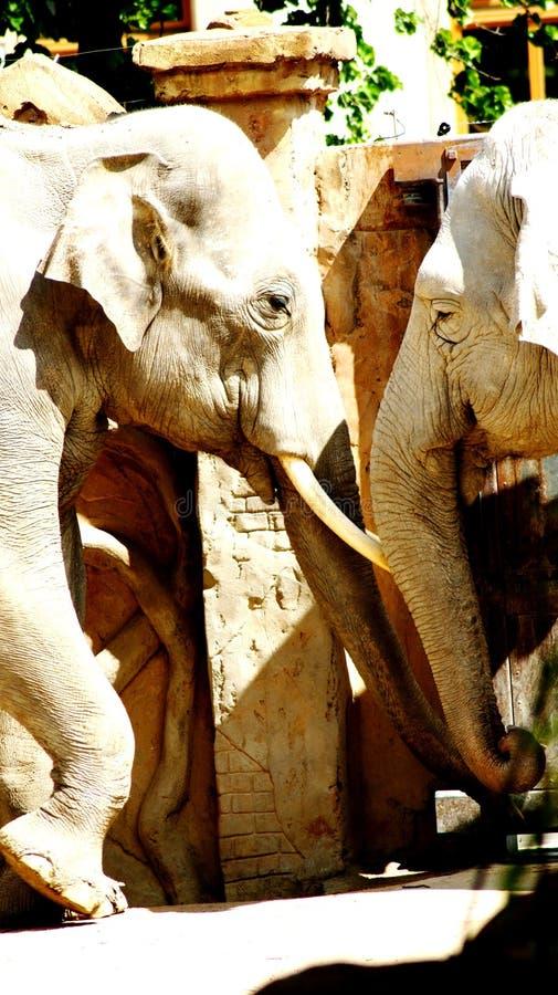 Indische Olifanten stock foto's