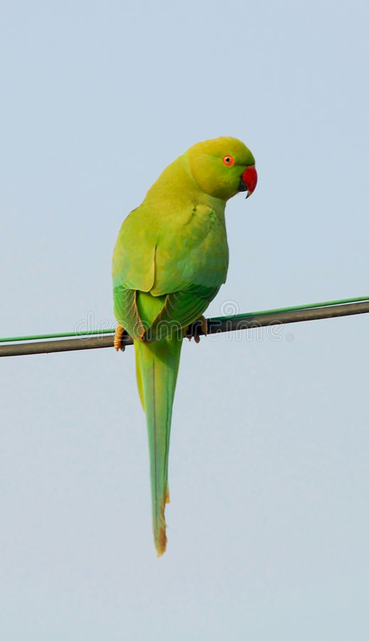 Indische Papegaai stock foto