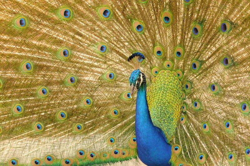 Indische Pauw royalty-vrije stock fotografie