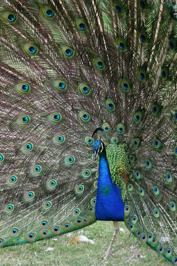 Indische Pauw royalty-vrije stock foto