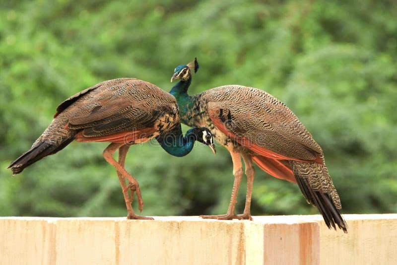 Indische pauwin stock afbeelding