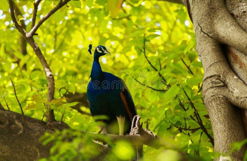 Indische pauwzitting op een boom stock foto's