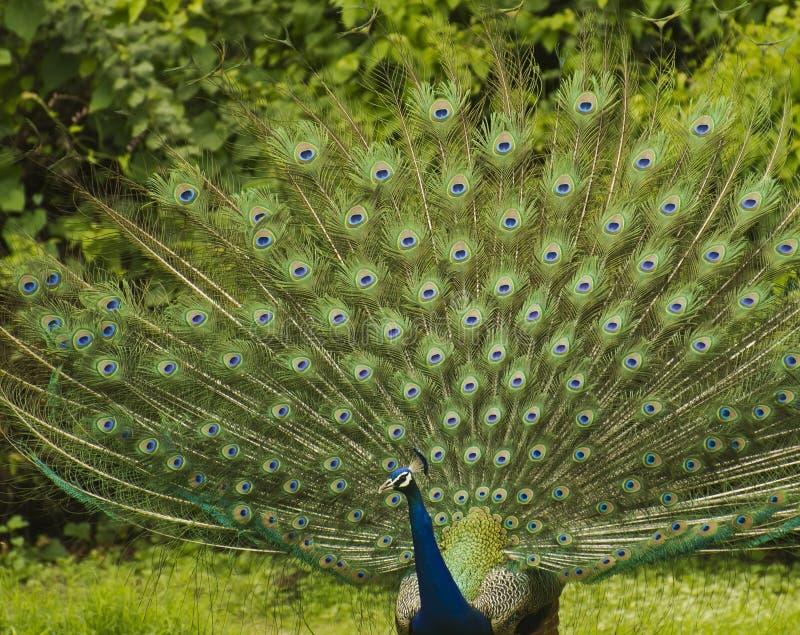 Indische Peacok royalty-vrije stock afbeeldingen