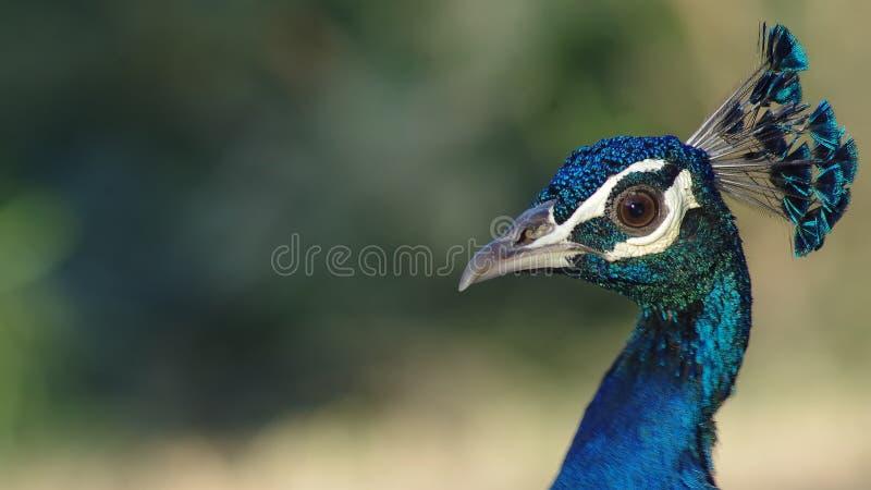 Indische peafowl of de Indische pauw royalty-vrije stock foto