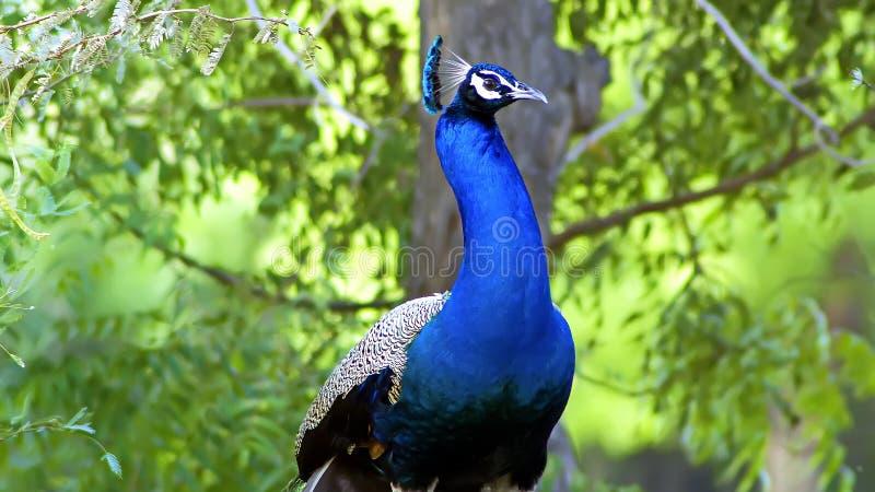 Indische peafowl of de Indische pauw royalty-vrije stock fotografie