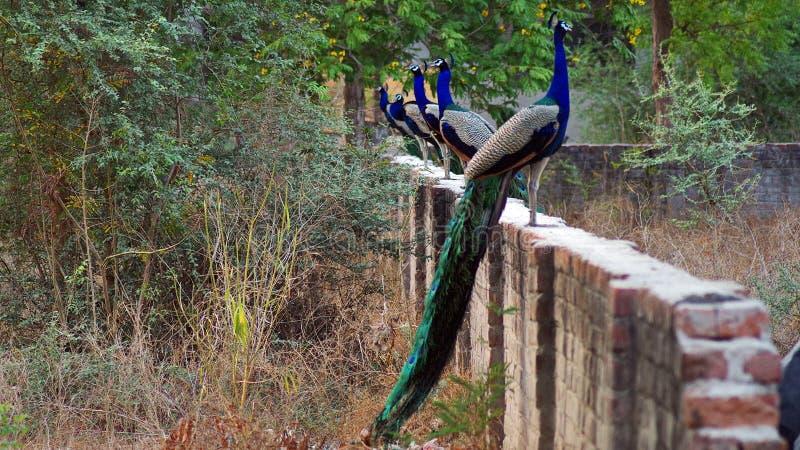 Indische peafowl of de Indische pauw royalty-vrije stock foto's