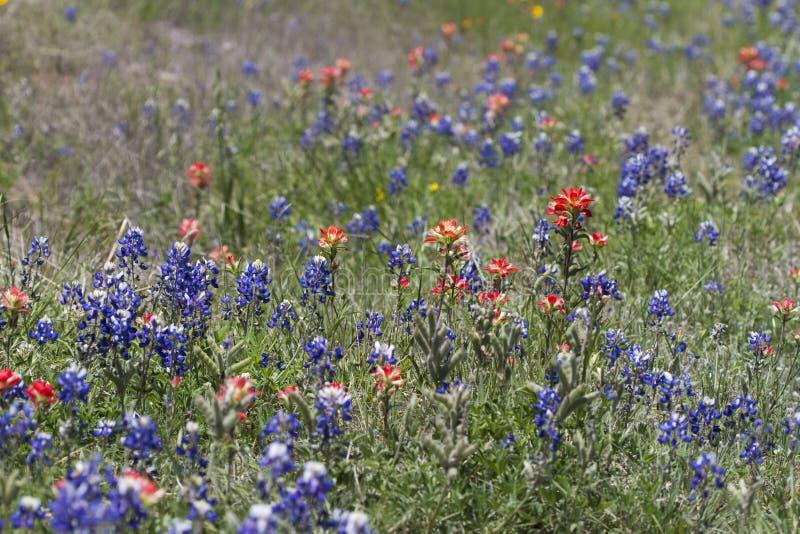 Indische Penseel en Bluebonnet Wildflowers stock afbeelding