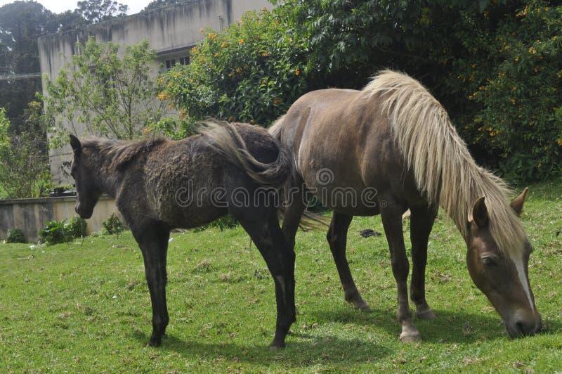 Indische Poney stock afbeelding