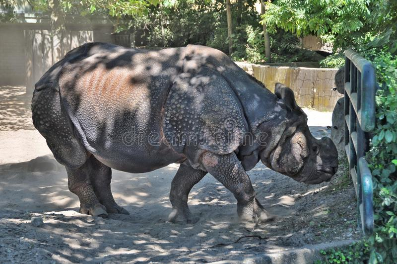 Indische Rinoceros royalty-vrije stock foto
