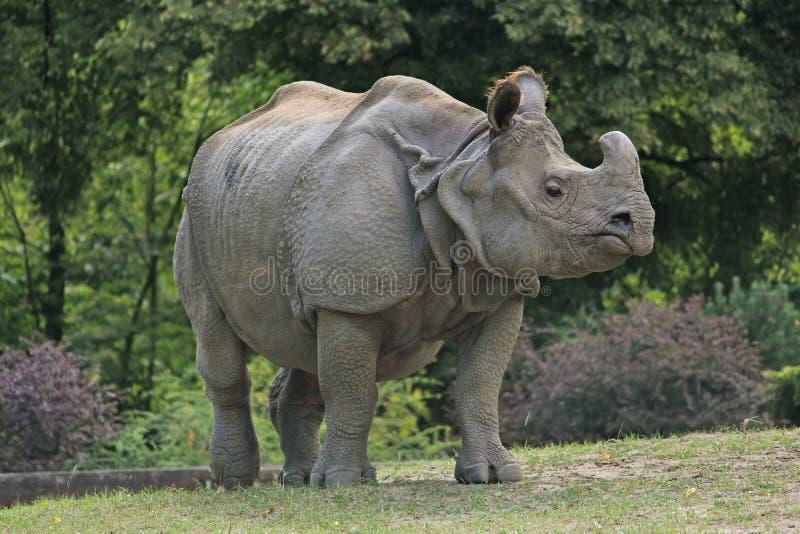 Indische rinoceros die in de Dierentuin van Warshau lopen stock fotografie