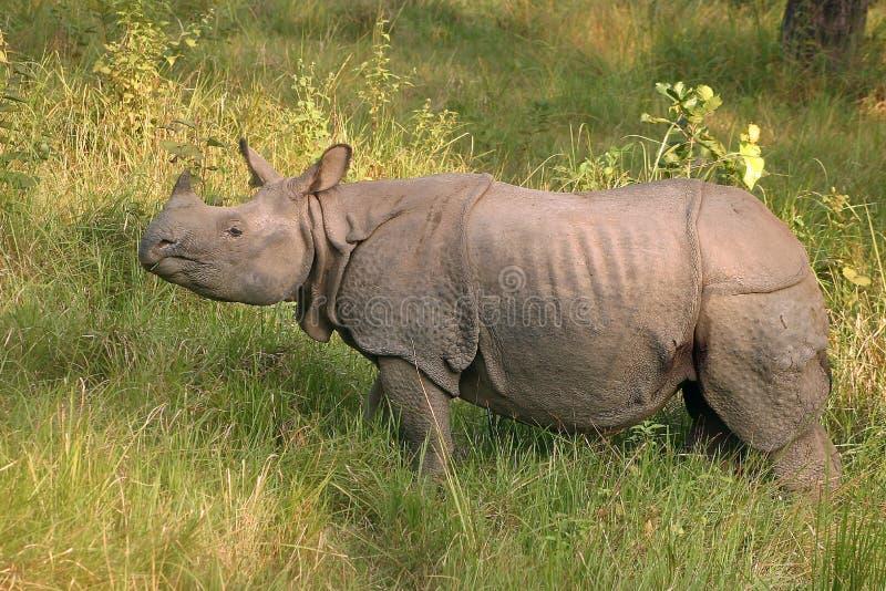 Indische rinoceros in Nepal royalty-vrije stock foto's