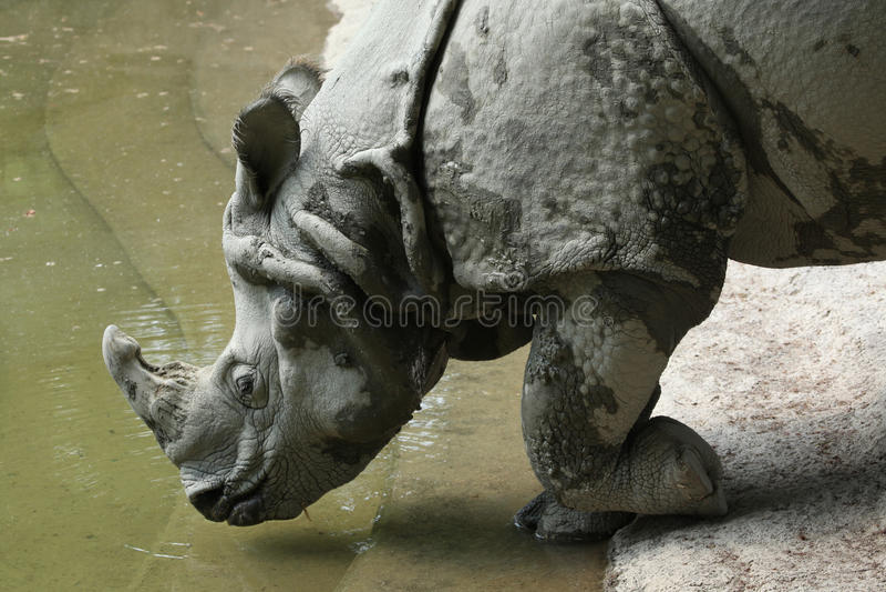 Indische Rinoceros (unicornis van de Rinoceros) stock foto