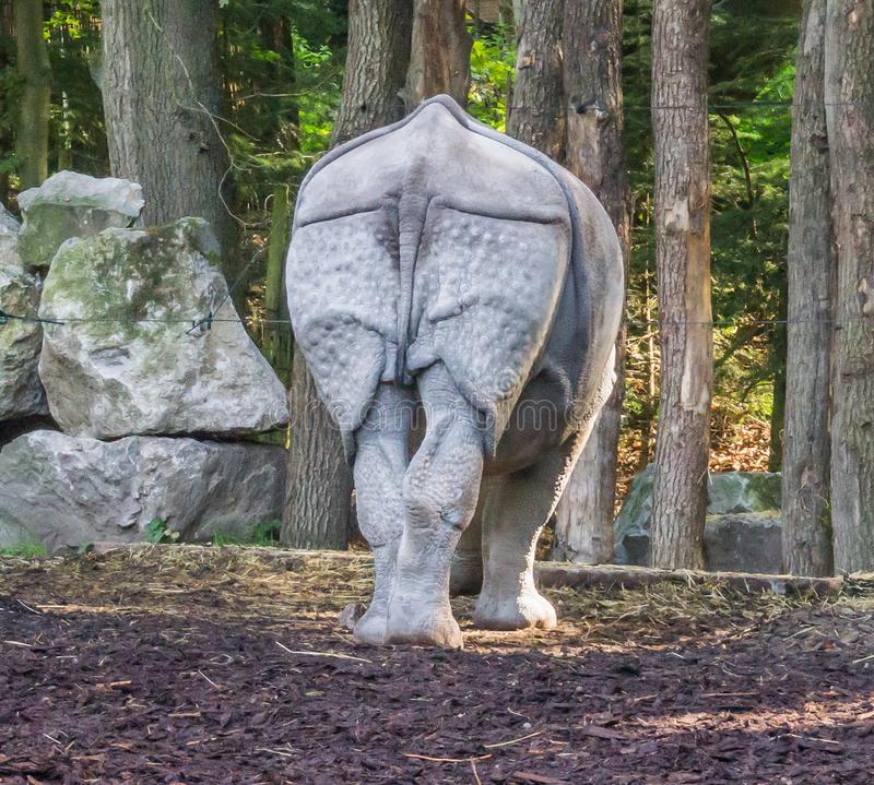 Indische rinoceros van de achtermening over zijn achtergedeelte en staart met een boslandschapsachtergrond stock afbeelding