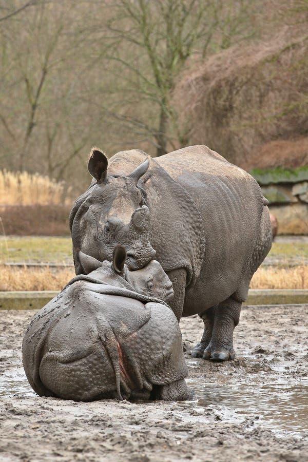 Indische rinocerosmoeder en een baby in de mooie aard die habitat kijken stock afbeeldingen