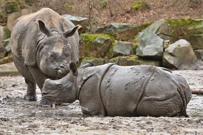 Indische rinocerosmoeder en een baby in de mooie aard die habitat kijken stock foto's