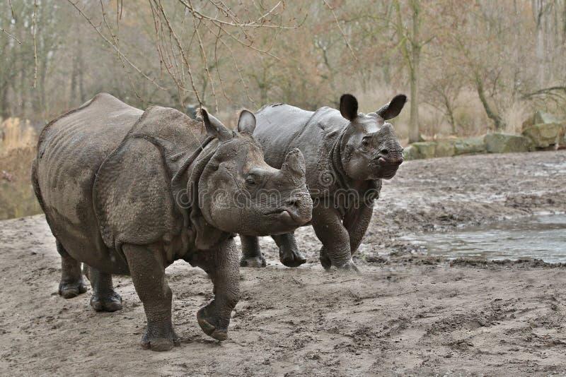 Indische rinocerosmoeder en een baby in de mooie aard die habitat kijken royalty-vrije stock afbeeldingen