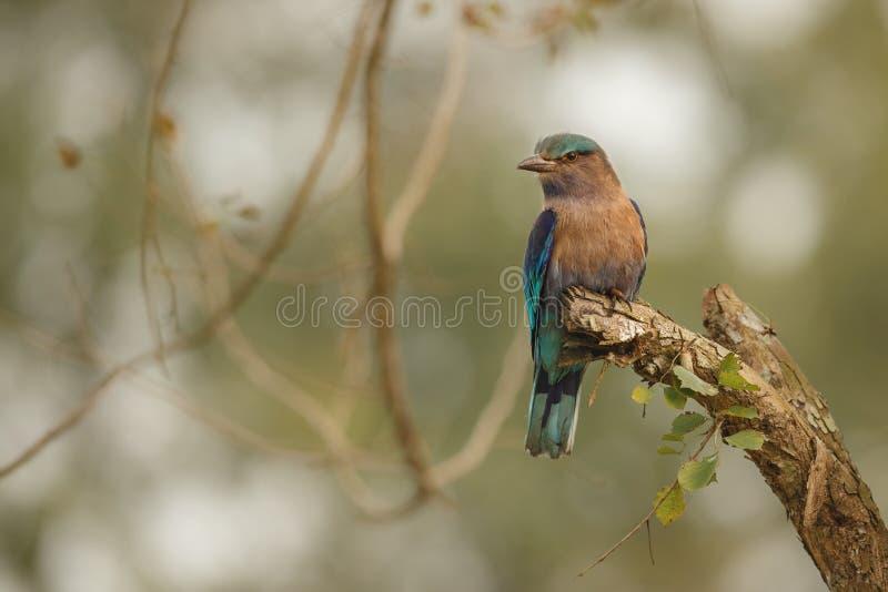 Indische Rolle, die auf einem Baum mit dem netten weichen Hintergrund sitzt stockfoto