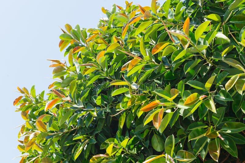 Indische Rubberbomen Latijnse naam: Ficuselastica Volwassen boom in natuurlijke voorwaarden in openlucht royalty-vrije stock fotografie